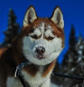 Psie zaprzęgi Wataha Tatry